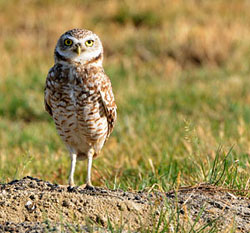 Owl standing next to burrow in a field