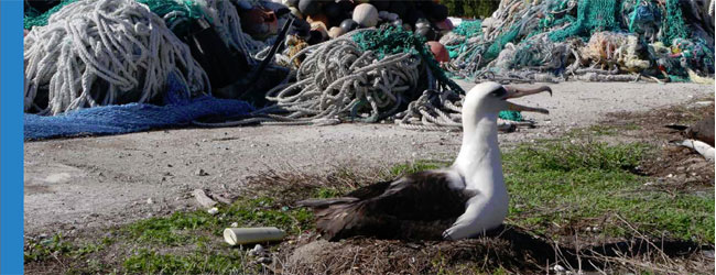 An albatross nesting in front of piles of marine debris including fishing nets and plastic bottles.