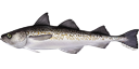 Illustration of an Alaska Pollock