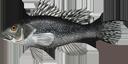 Illustration of a Black sea bass