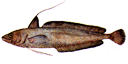 Illustration of a Red hake