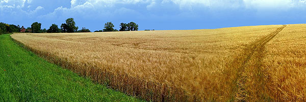 Iowa wheatfield