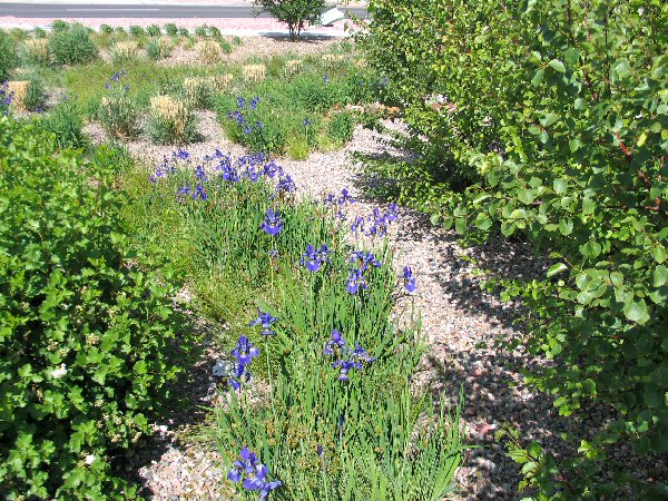 Iris in bioretention pond in Fort Carson, Colorado