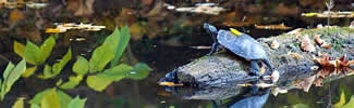 image of turtle on log in stream