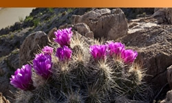 Purple flowers on cactus plant