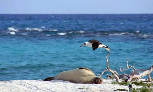Hawaiian Monk Seal and Laysan Albatross on Tern Island, French Frigate Shoals, Northwestern Hawaiian Islands. Photo source: Duncan Wright / USFWS