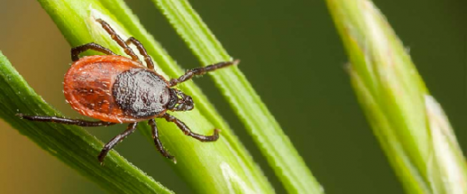 Photo of a tick, Ixodes scapularis, atop a blade of grass