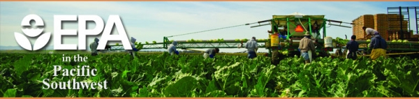 Farmworkers in a field harvesting cauliflower