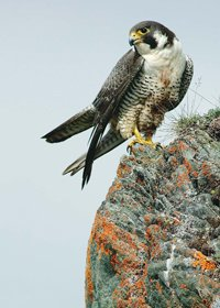 Peregrine falcon perched on a rocky cliff face