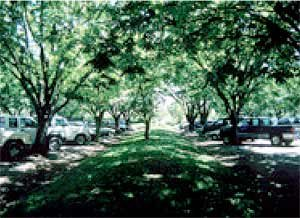 A picture showing trees in a parking lot