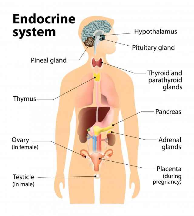what is the endocrine system? | endocrine disruption | us epa, Human body