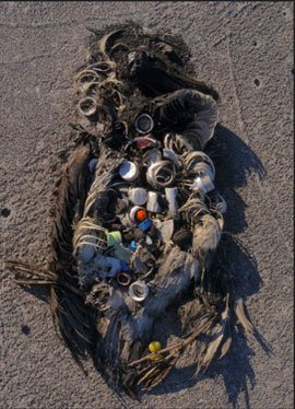 Decayed carcass of a sea bird, primarily feathers and feet, filled with plastic debris