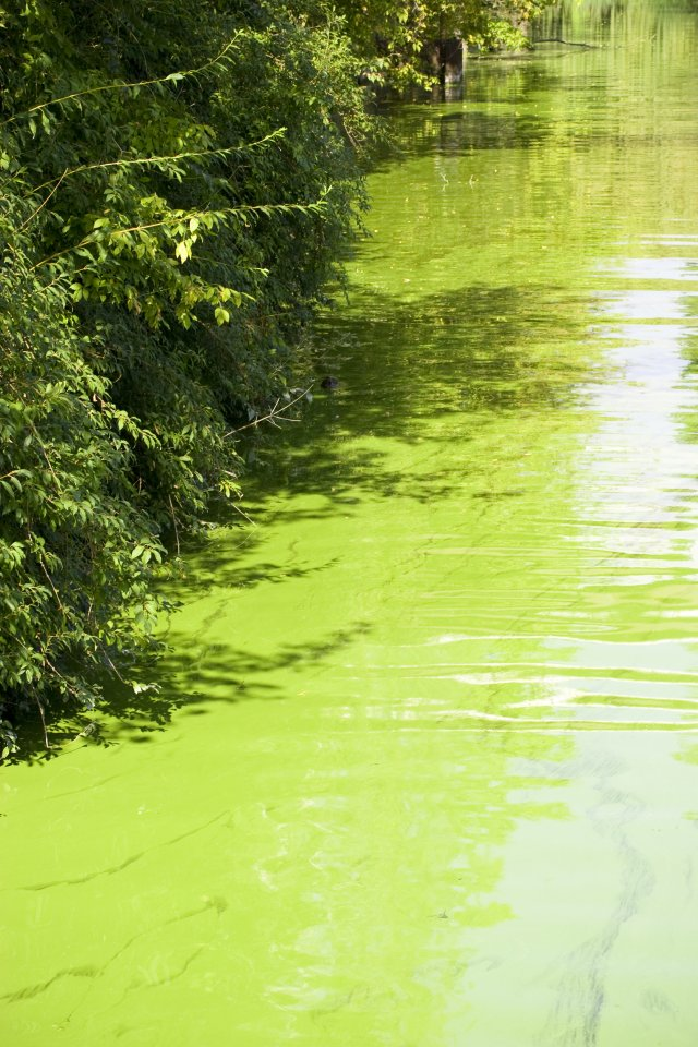A photo of blue green algal blooms.
