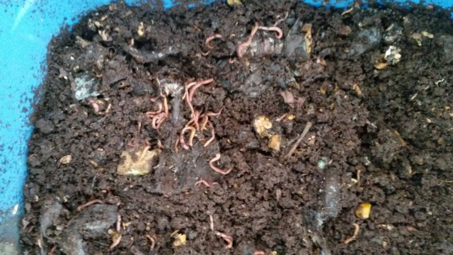 This is a picture looking down into a worm composting bin at the worms and dirt
