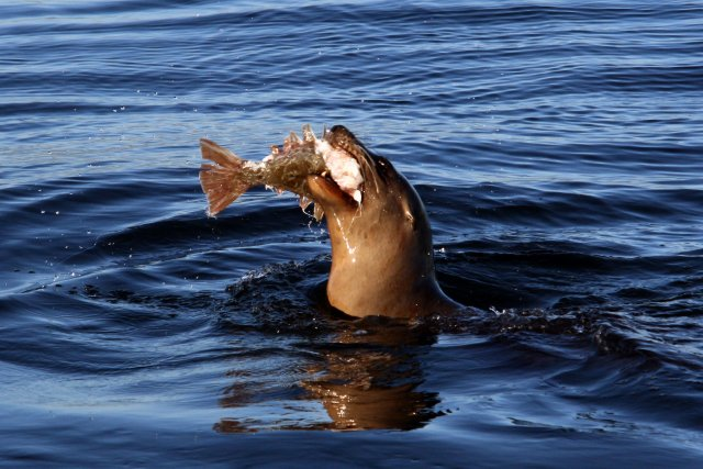 Sea lion eating a fish