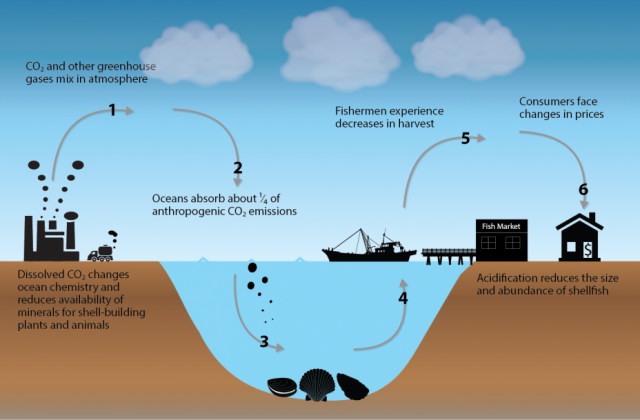 A conceptual diagram of the economic impacts of ocean acidification on shellfish prices