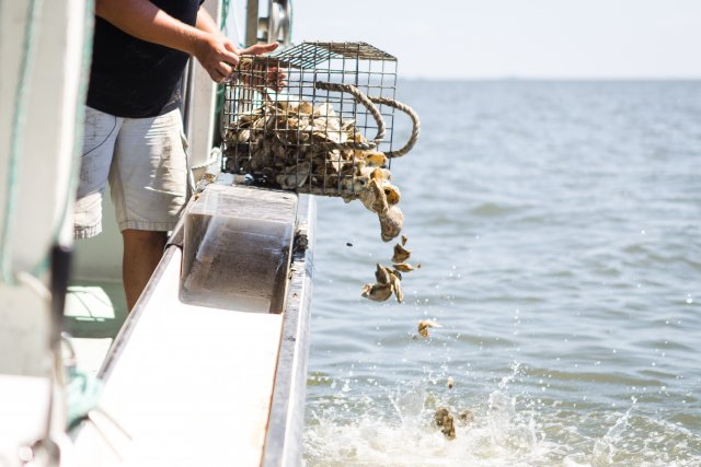 This is a picture of oyster shells being put back into the ocean to be reused.