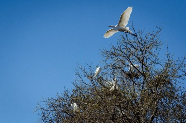 Photo of Great Egrets nesting at the Strawberry Island Colonial Waterbird Rookery. Credit: Ecology & Environment Inc.