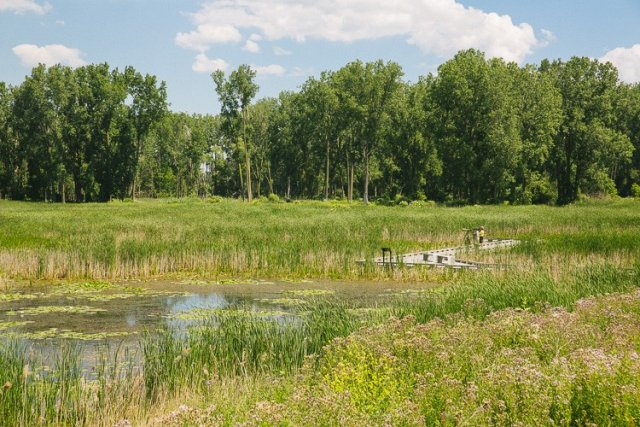 Photo of Healthy habitat at Pointe Rosa Marsh in the Lake St. Clair Metroparks filters pollutants from the water and provides essential habitat for rare and threatened bird and reptile species.