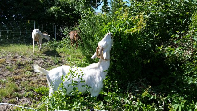 Goats from a local farm eat through overgrowth and invasive species at EPA's Narragansett, Rhode Island, lab.