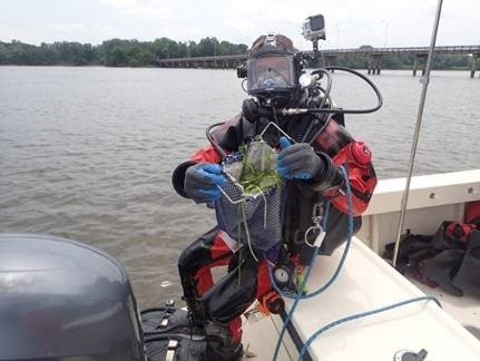 A scientific diver from the EPA Mid-Atlantic Region's Scientific Dive Unit displays Wild Celery (Vallisneria americana) collected during a verification dive.