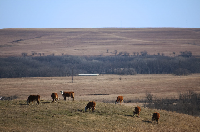 image of Cows grazing KS burns story