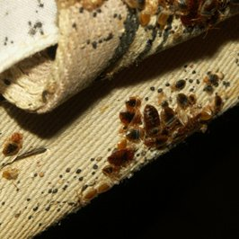 Bed bug adults, skin castings, feces, eggs on a box spring (Photo courtesy of Dr. Louis Sorkin)