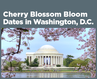Cherry Blossom Bloom Dates in Washington, D.C.