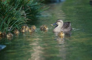 Stock photo of ducklings swimming on a lake